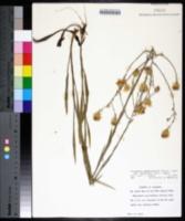 Pityopsis graminifolia var. latifolia image