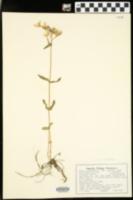 Phlox pilosa var. ozarkana image