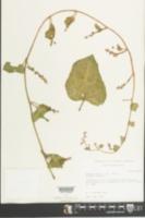 Basella alba image