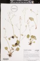 Image of Saxifraga caroliniana