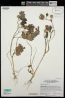 Image of Ranunculus muricatus