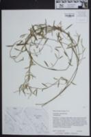 Image of Cynanchum scoparium