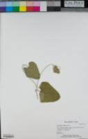 Aristolochia californica image