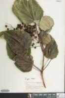 Image of Idesia polycarpa