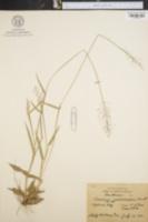 Image of Panicum microcarpon