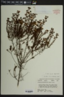 Hypericum brachyphyllum image