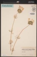Leptosiphon montanus image