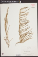 Salicornia virginica image