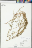 Diodia teres image