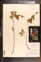 Sanicula canadensis var. floridana image