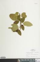 Image of Ceanothus x delileanus