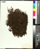 Kalmia procumbens image
