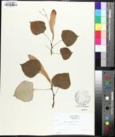 Tilia oliveri image