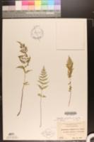 Cystopteris fragilis var. fragilis image