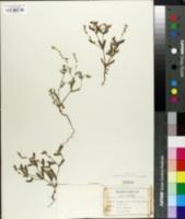 Image of Cryptantha affinis