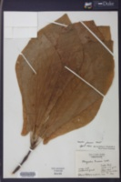 Magnolia fraseri image