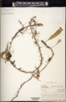 Polypodium lanceolatum image