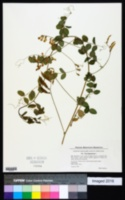 Image of Vicia dumetorum
