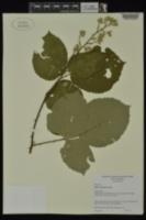 Rubus armeniacus image