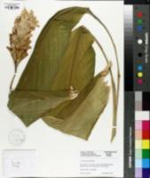 Image of Curcuma petiolata
