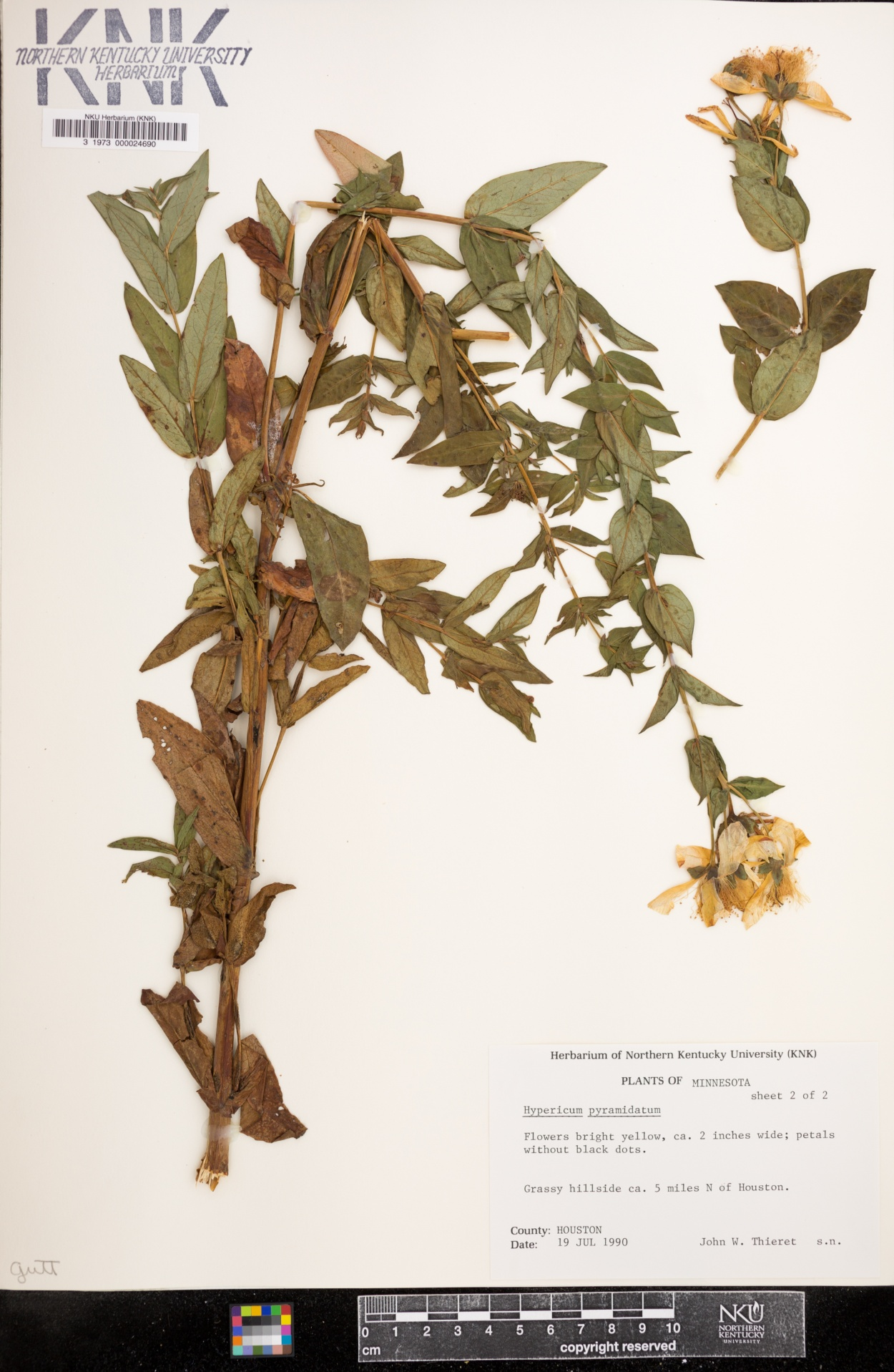 Hypericum pyramidatum image