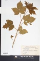 Rubus varus image