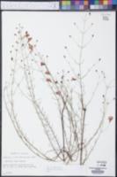 Agalinis laxa image