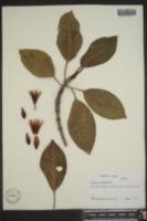 Bruguiera gymnorrhiza image