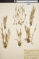 Image of Panicum meridionale