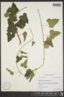 Dioscorea jaliscana image