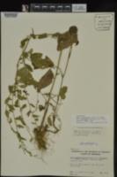 Symphyotrichum drummondii var. texanum image