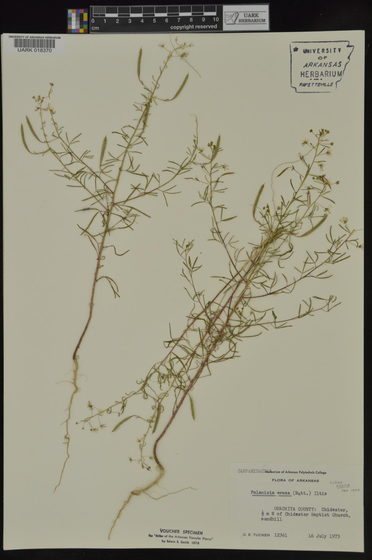 Polanisia erosa subsp. erosa image