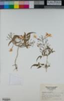 Jasminum fluminense image