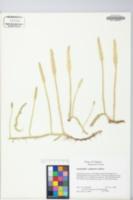 Image of Lycopodiella x gilmanii