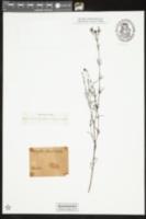 Image of Hedyotis stenophylla