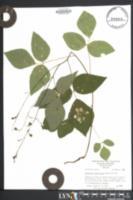 Image of Desmodium pauciflorum
