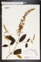 Image of Buddleja madagascariensis