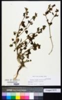 Image of Mirabilis oligantha