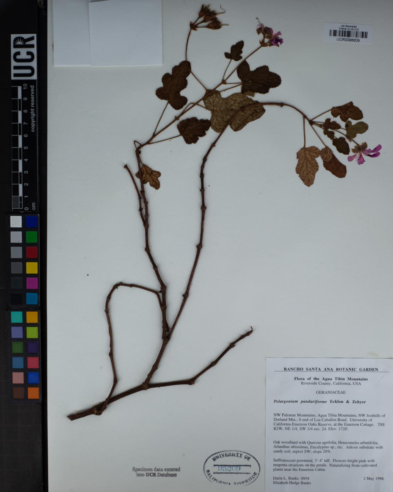 Pelargonium panduriforme image