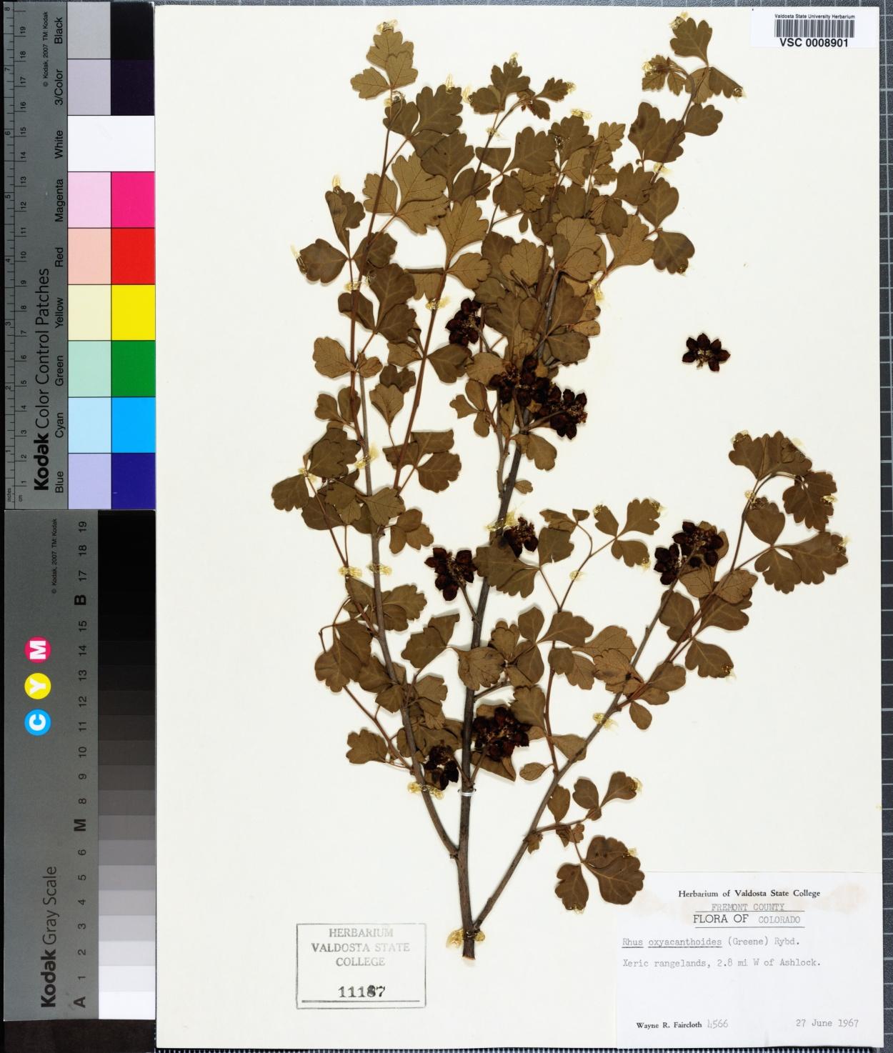 Rhus oxyacanthoides image