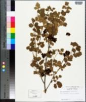Image of Rhus oxyacanthoides