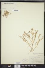 Spergularia canadensis image
