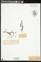 Ludwigia arcuata image