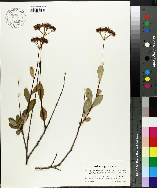 Bupleurum fruticosum image