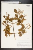 Chiococca alba image
