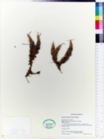 Image of Distichia muscoides