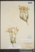 Phlox nivalis subsp. hentzii image