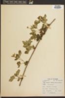 Image of Rubus invisus