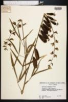 Image of Crotalaria intermedia