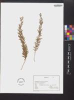 Tmesipteris tannensis image